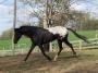 WAPUZZAN a HOMOZYGOUS APPALOOSA SPORT and PERFORMANCE STALLION, Appaloosa Stallion at Stud in Wisconsin